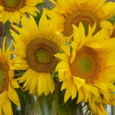 Sunflowers welcome visitors to Carlo and Julian Winery.